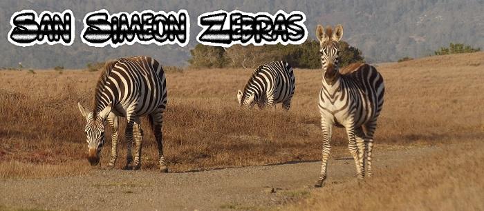 San Simeon Zebras